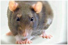Мышь обыкновенная, серая