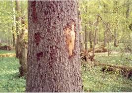 Съеденное дерево жуком короедом